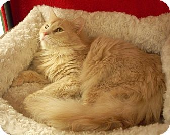 Domestic Longhair Cat for adoption in Fountain Hills, Arizona - COOPER