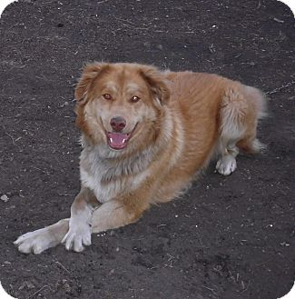 Australian Shepherd/Golden Retriever Mix Dog for adoption in Minneapolis, Minnesota - Doogie