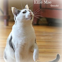 Domestic Shorthair Cat for adoption in Glen Mills, Pennsylvania - Ellie Mae