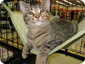 Domestic Shorthair Kitten for adoption in Fort Wayne, Indiana - Elvis