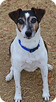 Jack Russell Terrier Dog for adoption in Gardnerville, Nevada - Horace