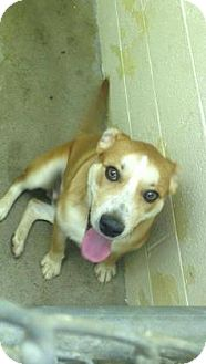 Boxer Mix Dog for adoption in Paducah, Kentucky - Toby