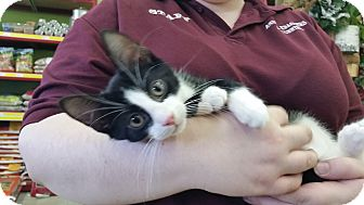 Domestic Shorthair Kitten for adoption in Oak Lawn, Illinois - Chance