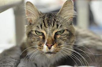 Domestic Longhair Cat for adoption in Atlanta, Georgia - Symba 13916