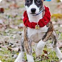 Adopt A Pet :: Bonnie meet me 1/6 - Manchester, CT