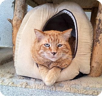 Domestic Shorthair Cat for adoption in Mountain Center, California - Sunny