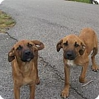 Adopt A Pet :: Lonnie & COnnie - Allentown, PA