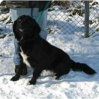 Adopt A Pet :: ShayaPENDING - Toronto/Etobicoke/GTA, ON