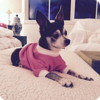 Chihuahua Dog for adoption in Tustin, California - Fawn