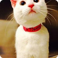 Adopt A Pet :: Snowflake-Adoption Pending! - Arlington, VA