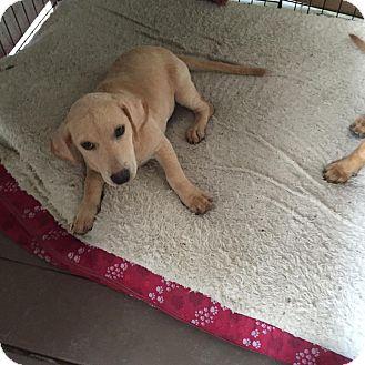 Labrador Retriever/Dachshund Mix Puppy for adoption in Houston, Texas - Emma