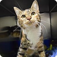Adopt A Pet :: Pebbles - Canastota, NY