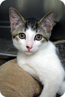 Domestic Shorthair Kitten for adoption in Bradenton, Florida - Tap Man