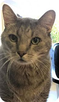 Domestic Shorthair Cat for adoption in Manchester, Missouri - Pierre