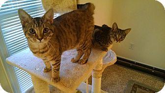 Domestic Shorthair Kitten for adoption in Richmond, Virginia - Jennifer and Paul