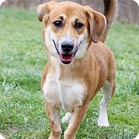 Adopt A Pet :: Sophia ADOPTION PENDING - Waldorf, MD