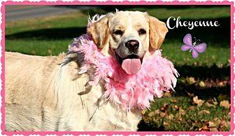 Labrador Retriever/Spaniel (Unknown Type) Mix Dog for adoption in Marion, Kentucky - Cheyenne