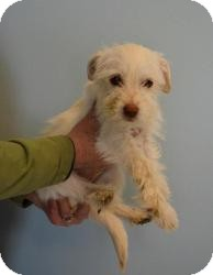Wirehaired Fox Terrier Mix Puppy for adoption in Shawnee Mission, Kansas - Baby Willow