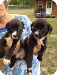 Labrador Retriever Mix Puppy for adoption in Marlton, New Jersey - Clara Belle and Anna Rose