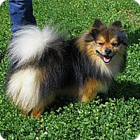 Adopt A Pet :: LOKI - Hesperus, CO