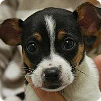 Adopt A Pet :: Little Girl - Jackson, MI