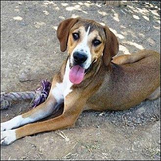 Hound (Unknown Type) Mix Dog for adoption in Shreveport, Louisiana - Hansel