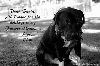 American Staffordshire Terrier/Doberman Pinscher Mix Dog for adoption in Tucson, Arizona - Clay