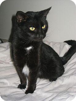 Domestic Shorthair Cat for adoption in Bloomsburg, Pennsylvania - Ouija