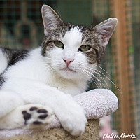 Domestic Shorthair Cat for adoption in Los Angeles, California - Drew
