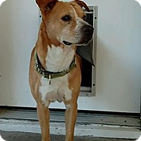 Adopt A Pet :: Rusty - Austin, TX