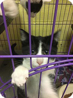 Domestic Shorthair Kitten for adoption in Richboro, Pennsylvania - Pongo