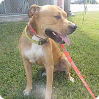 Staffordshire Bull Terrier Dog for adoption in Rosenberg, Texas - A009085