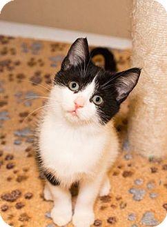 Domestic Shorthair Kitten for adoption in Seville, Ohio - Taylor