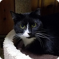 Domestic Shorthair Cat for adoption in Jeannette, Pennsylvania - Sophie