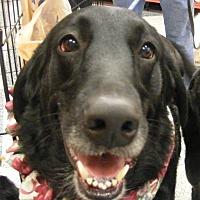 Labrador Retriever/Golden Retriever Mix Dog for adoption in Dallas, Texas - Tyson