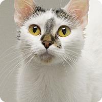 Adopt A Pet :: Smudge - Springfield, IL