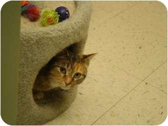 Domestic Shorthair Cat for adoption in Muncie, Indiana - Brinkley