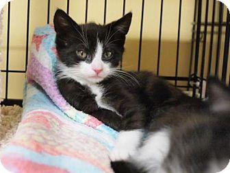 Domestic Shorthair Kitten for adoption in Ocean City, New Jersey - Louie