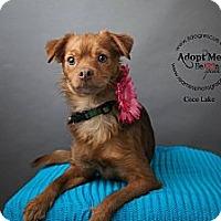 Adopt A Pet :: Coco Lake - Shawnee Mission, KS