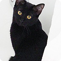 Domestic Shorthair Cat for adoption in Santa Monica, California - Pooh