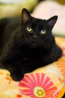 Domestic Shorthair Cat for adoption in Grayslake, Illinois - Loofah