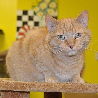 Domestic Mediumhair Cat for adoption in Sunrise Beach, Missouri - Murphy