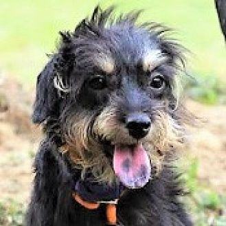 Miniature Schnauzer Mix Dog for adoption in San Francisco, California - Belle