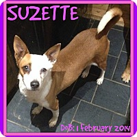 Adopt A Pet :: SUZETTE - Mount Royal, QC