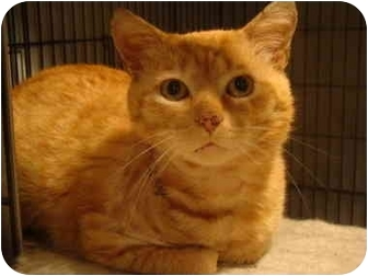 Domestic Shorthair Cat for adoption in Muncie, Indiana - Cooper