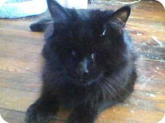 Domestic Longhair Cat for adoption in Cleveland, Ohio - Lucky-Blind Kitty