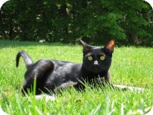 Domestic Shorthair Cat for adoption in Rockaway, New Jersey - ***Ozzy***
