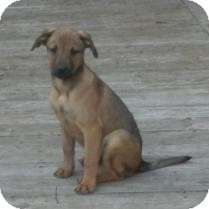 Labrador Retriever/Mountain Cur Mix Puppy for adoption in Antioch, Illinois - Curtis  ADOPTED!!
