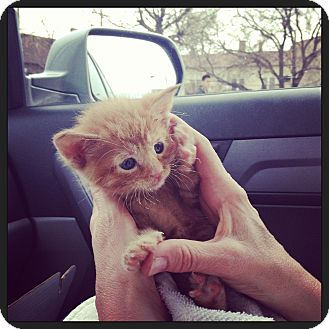 Domestic Shorthair Kitten for adoption in Chicago, Illinois - Peaches