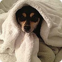 Adopt A Pet :: Mitzy - Burbank, CA